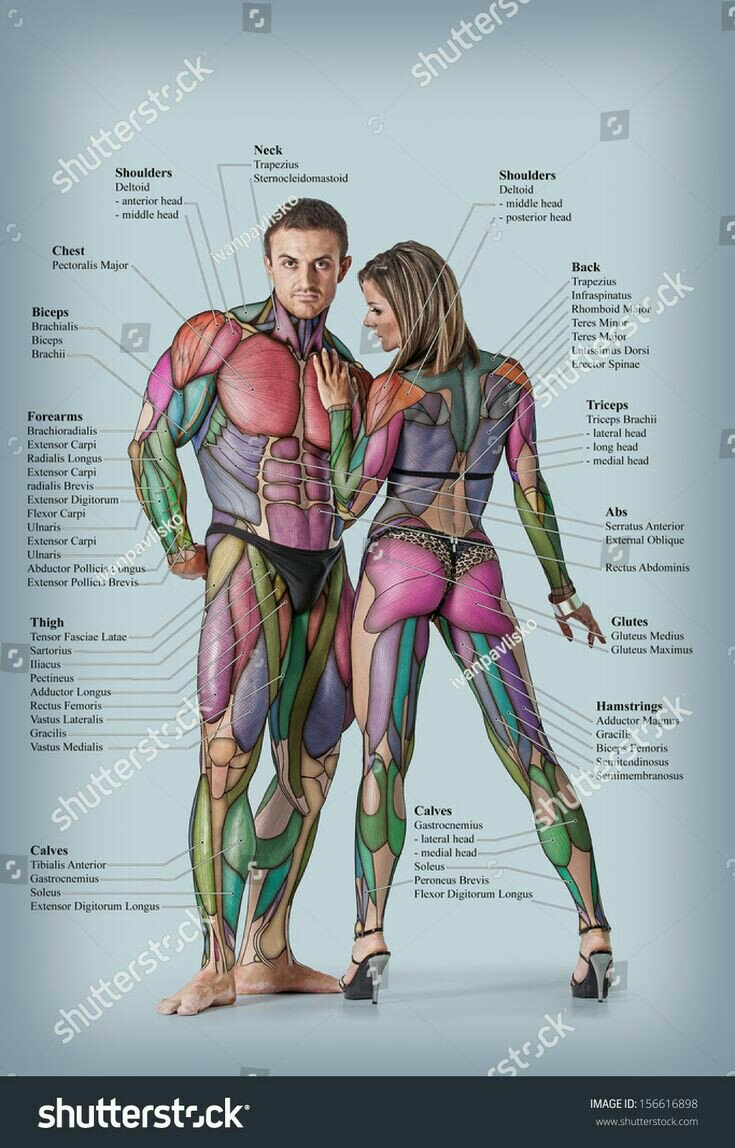 Illustration of the various muscles in both men and female body